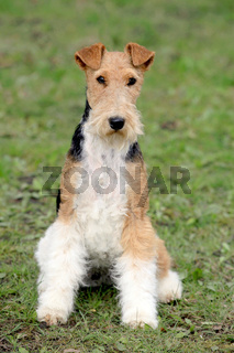 Fox Terrier Wire in the autumn garden
