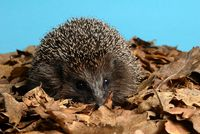 Hegdehog on autumn leaves
