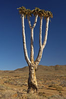 Giant Quiver Tree, Richtersveld National Park