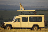A cheetah perches atop a safari vehicle.