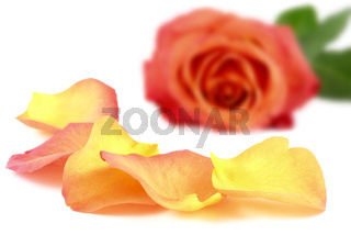 Beautiful petals in front of a rose