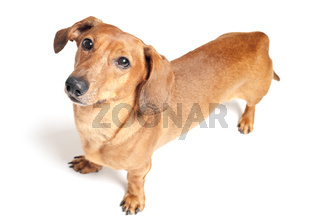 cute brown dachshund dog isolated on white background