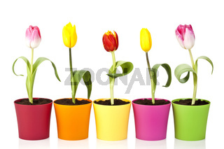 сolourful tulip flowers
