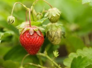 Strawberry bush