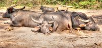 sleeping water buffalo