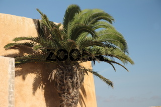 A palm in the Portuguese Fortified City of Mazagan. El-Jadida