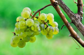 Riesling Weintraube