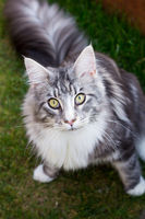Silver Maine Coon cat looking up