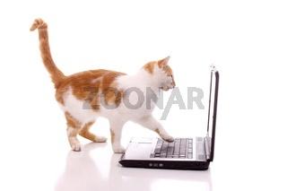 Katze arbeitet am Laptop