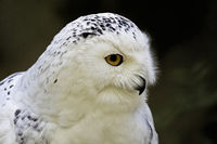 Bubo scandiacus, Great White Owl, Snow Owl