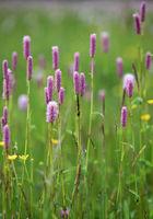 Meadow bistort