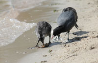 Coot chick and parent with crawfish