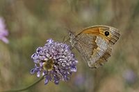 Maniola jurtina, Meadow Brown butterfly (female)