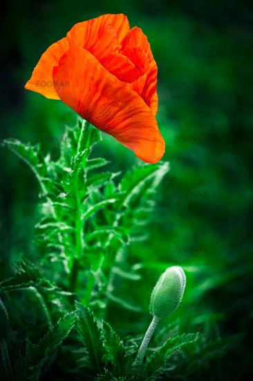 Poppy flower. Big decorative poppy in garden