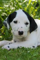 Dalmatian puppy, five weeks old, portrait in a gar