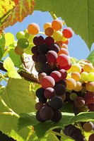 Grapes in the Sunlight