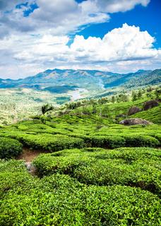 Tea plantations in India
