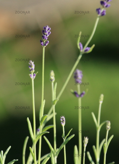Lavender, flower