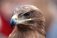 Head of an alert hawk