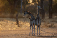 Two very young Thornicroft's Giraffes
