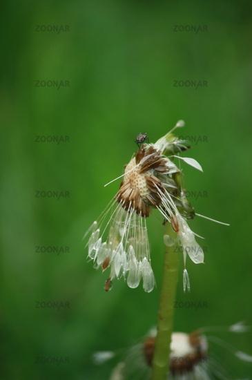 Rain flower with rain water