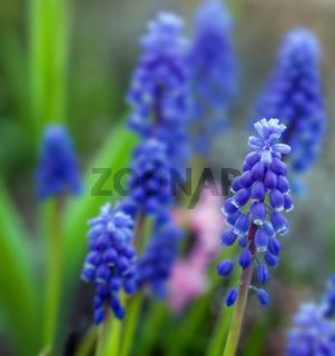 blue muscari