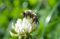 Bee in white clover