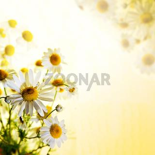 Summer wildflowers: chamomile