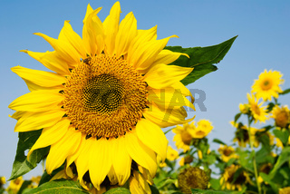 Big sunflower with flying bee