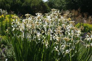 Iris orientalis Frigida, Orientalische Iris
