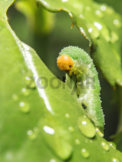 Blattwespen-Larve (Allantus viennensis)