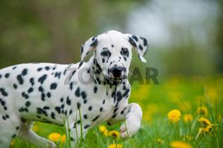 Dalmatinerwelpe