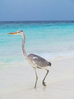 Pelican is walking on a Caribbean sea shore