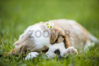 Cavalier King Charles Spaniel Welpe schläft