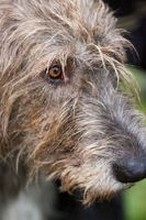 Portrait of a wolfhound