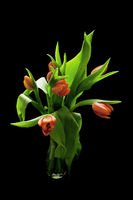 bouquet of red tulips on black background