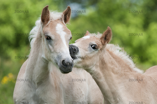 Two Haflinger horses, colts, side by side