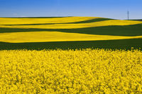 Rape field