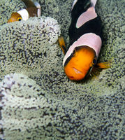 saddleback anemonefish