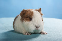 guinea pig with red eyes Studio
