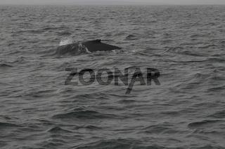 Humpback whale (Megaptera novaeangliae). Whale-watching tour on the Skjálfandi Bay near Húsavík