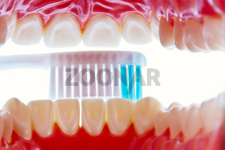 Zahnmodell mit Zahnbürste beim Zähne putzen
