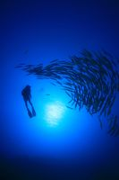Scuba diver and school of blackfin barracudas