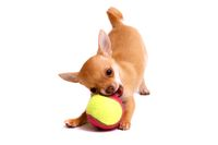 Chihuhahua puppy plays with ball