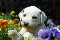 Dalmatian puppy, four weeks old nibbles at pansy