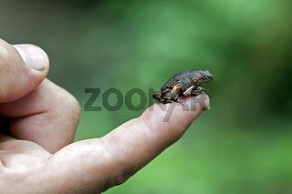 Frosch Engystomops freibergi auf einer Fingerkuppe