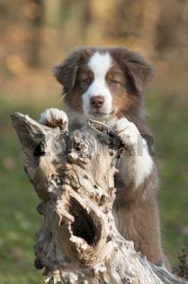 Junger Australian Shepherd