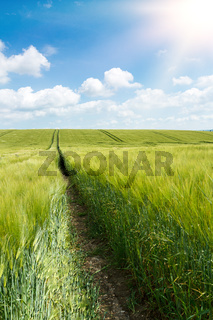 Organic Green spring grains field
