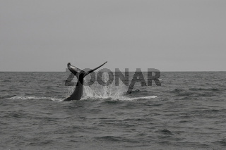 Humpback whale (Megaptera novaeangliae) showing his tail. Whale-watching tour on the Skjálfandi Bay near Húsavík