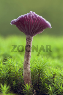 Violetter Lacktrichterling (Laccaria amethystea)